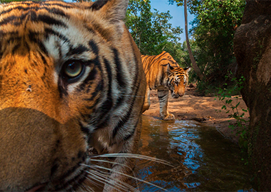 National Geographic Live: On the Trail of Big Cats